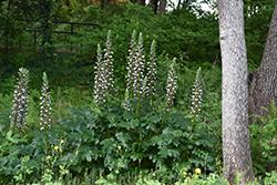 Bear's Breeches (Acanthus mollis) at Roger's Gardens