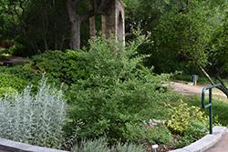 Sweet Almond Bush (Aloysia virgata) at Roger's Gardens