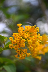 Orange Cestrum (Cestrum aurantiacum) at Roger's Gardens