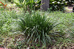 Giant Lily Turf (Liriope gigantea) at Roger's Gardens