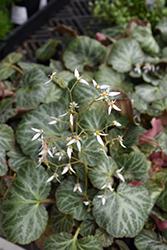 Creeping Saxifrage (Saxifraga stolonifera) at Roger's Gardens