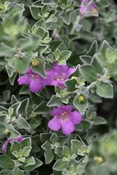 Compact Texas Sage (Leucophyllum frutescens 'Compacta') at Roger's Gardens