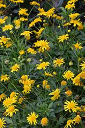African Bush Daisy (Euryops chrysanthemoides) at Roger's Gardens