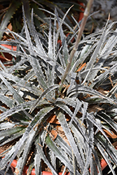 Pale Ryder Dyckia (Dyckia 'Pale Ryder') at Roger's Gardens