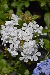 White Cape Plumbago (Plumbago auriculata 'Monite') at Roger's Gardens