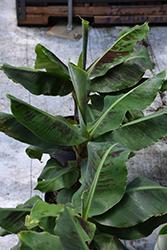 Truly Tiny Banana (Musa 'Truly Tiny') at Roger's Gardens