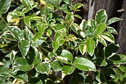 Variegated Bower Vine (Pandorea jasminoides 'Variegata') at Roger's Gardens