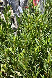 Emerald Wave Sweet Bay (Laurus nobilis 'Monem') at Roger's Gardens