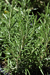 Hill Hardy Rosemary (Rosmarinus officinalis 'Hill Hardy') at Roger's Gardens