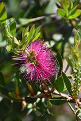 Jeffers Bottlebrush (Callistemon citrinus 'Jeffers') at Roger's Gardens
