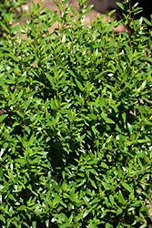 Dwarf Sweet Myrtle (Myrtus communis 'Microphylla') at Roger's Gardens