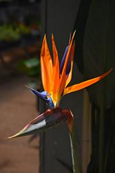 Orange Bird Of Paradise (Strelitzia reginae) at Roger's Gardens