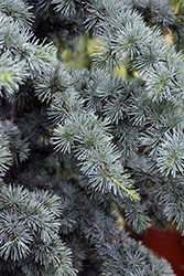 Fastigiate Atlas Cedar (Cedrus atlantica 'Fastigiata') at Roger's Gardens