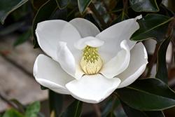 Majestic Beauty Magnolia (Magnolia grandiflora 'Monlia') at Roger's Gardens