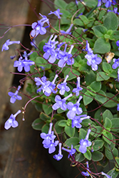 Concord Blue Cape Primrose (Streptocarpus saxorum 'Concord Blue') at Roger's Gardens