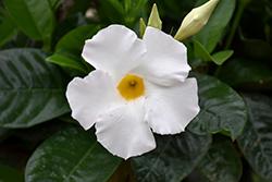 White Mandevilla (Mandevilla 'White') at Roger's Gardens