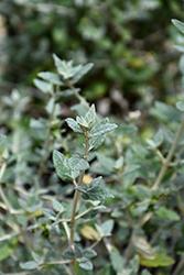 Bush Germander (Teucrium fruticans) at Roger's Gardens