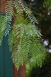 Maverick Thornless Texas Honey Mesquite (Prosopis glandulosa 'Maverick') at Roger's Gardens