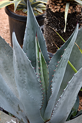 Rough Agave (Agave scabra) at Roger's Gardens
