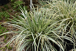 Aztec Grass Lily Turf (Liriope muscari 'Aztec Grass') at Roger's Gardens