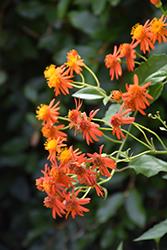 Mexican Flame Vine (Senecio confusus) at Roger's Gardens