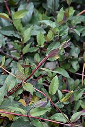 Purple-Leaf Japanese Honeysuckle (Lonicera japonica 'Purpurea') at Roger's Gardens