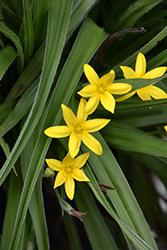Common Goldstar (Hypoxis hirsuta) at Roger's Gardens