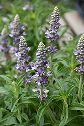 Cathedral Lavender Salvia (Salvia farinacea 'Cathedral Lavender') at Roger's Gardens