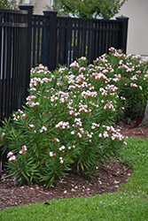 Petite Pink Oleander (Nerium oleander 'Petite Pink') at Roger's Gardens
