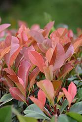 Red Tip Photinia (Photinia x fraseri 'Red Tip') at Roger's Gardens