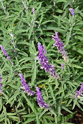 Santa Barbara Mexican Sage (Salvia leucantha 'Santa Barbara') at Roger's Gardens