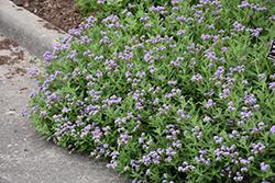 Clasping Heliotrope (Heliotropium amplexicaule) at Roger's Gardens