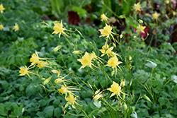Golden Columbine (Aquilegia chrysantha) at Roger's Gardens