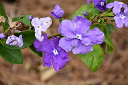 Magnificent Yesterday Today And Tomorrow (Brunfelsia magnifica) at Roger's Gardens