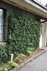 Creeping Fig (Ficus repens) at Roger's Gardens