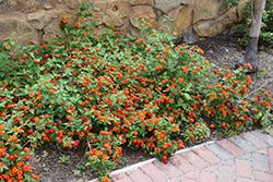 Dallas Red Lantana (Lantana camara 'Dallas Red') at Roger's Gardens