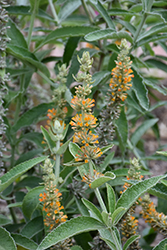 Orange Sceptre Butterfly Bush (Buddleia 'Orange Sceptre') at Roger's Gardens