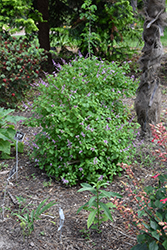Shell Bush (Ocimum labiatum) at Roger's Gardens