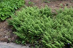 Moss Fern (Selaginella pallescens) at Roger's Gardens