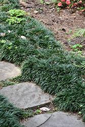 Dwarf Mondo Grass (Ophiopogon japonicus 'Nanus') at Roger's Gardens