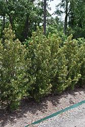 Roman Candle Podocarpus (Podocarpus macrophyllus 'Miu') at Roger's Gardens