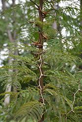 Bullhorn Acacia (Vachellia cornigera) at Roger's Gardens
