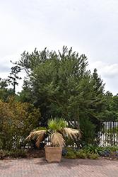 Grey's Littleleaf Yaupon Holly (Ilex vomitoria 'Grey's Littleleaf') at Roger's Gardens