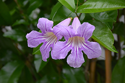 Lavender Trumpet Vine (Clytostoma callistegioides) at Roger's Gardens