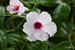 Pink Bower Vine (Pandorea jasminoides 'Rosea') at Roger's Gardens