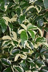 Charisma Bower Vine (Pandorea jasminoides 'Charisma') at Roger's Gardens