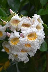 Dwarf Tree Jasmine (Radermachera kunming) at Roger's Gardens