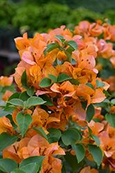 California Gold Bougainvillea (Bougainvillea 'California Gold') at Roger's Gardens