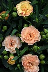 Sunflor Luigi Carnation (Dianthus caryophyllus 'HILLUIGI') at Roger's Gardens