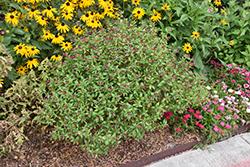 Ballistic Cuphea (Cuphea 'Ballistic') at Roger's Gardens